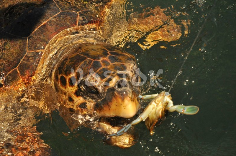 Caretta Caretta turtles can be seen in Dalyan during a trip along a river