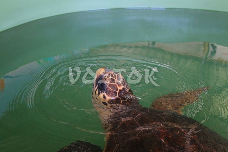 Turtle is looking to you from the rehabilitation tank in Dalyan Turtle Hospital