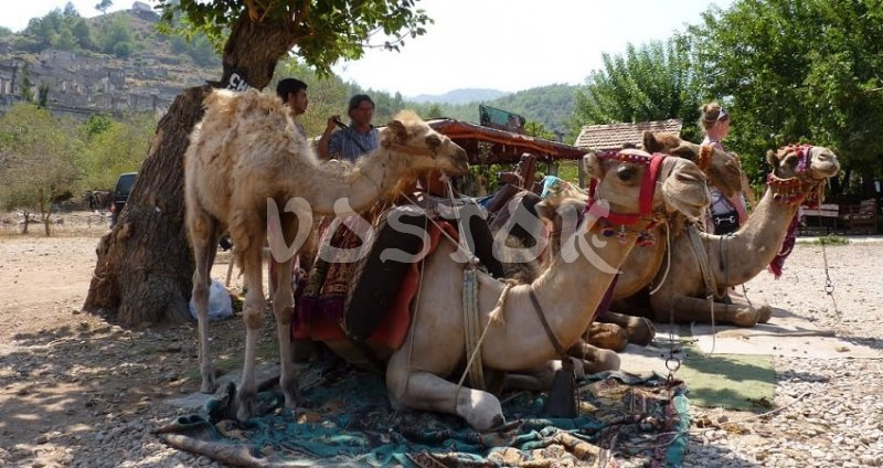 Camels are chilling after the camel ride Turkey