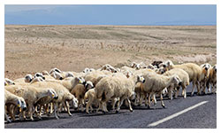 Livestock on the road in Turkey